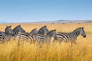 Masai Mara Game Reserve - zebra's - savanne - Kenia - foto: unsplash