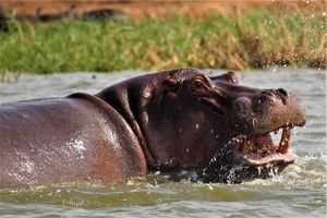 Nijlpaard - Oeganda