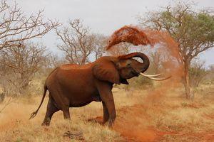 Olifant - Kenia