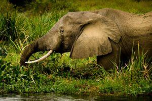 Murchison Falls - olifant - Oeganda - foto: unsplash