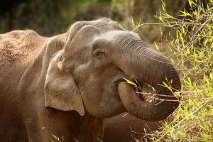 Olifant - Nagarhole - India - foto: flickr