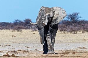 Olifant - Nxai Pan Camp - Botswana - foto: Nxai Pan Camp