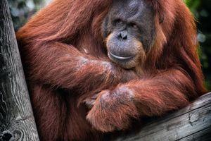 Orang Oetan - Bukit Lawang - Sumatra - Indonesie - foto: unsplash