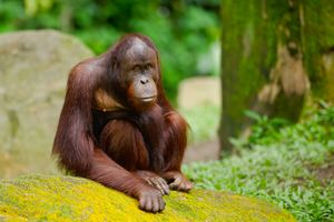 Orang Oetan - Sumatra - Indonesie - foto: flickr
