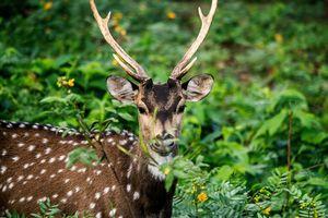 Pench Nationaal Park - Axishert - Chital - India - foto: pixabay