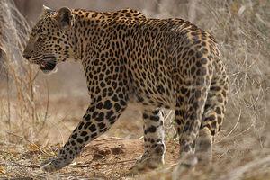 Ranthambore - Luipaard - India - foto: flickr