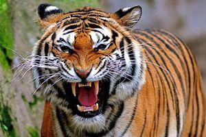 Ranthambore - Tijger - India - foto: flickr