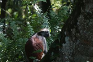Red Colobus - Zanzibar - Tanzania