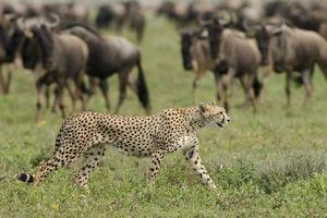 Sanctuary Kusini luxury lodge - cheetah - Serengeti - Tanzania - foto: Sanctuary Kusini Camp