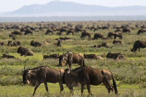 Sanctuary Kusini luxury lodge - gnoes - Serengeti - Tanzania - foto: Sanctuary Kusini Camp