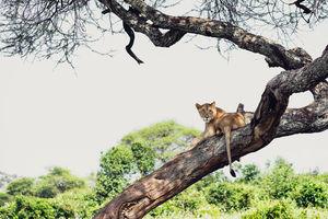 Sanctuary Swala - leeuw - Tarangire National Park - Tanzania - foto: Sanctuary Swala Camp