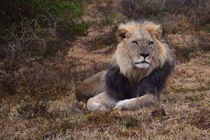 Sasan Gir Nationaal Park - Leeuw - India - foto: unsplash