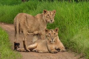 Sasan Gir Nationaal Park - Leeuwinnen - India - foto: flickr