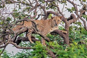 Sasan Gir Nationaal Park - Luipaard in boom - India - foto: flickr