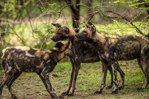 Selous Game Reserve - wilde honden - Tanzania - Roho Ya Selous - foto: Roho Ya Selous