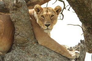 Serengeti National Park - boomklimmende leeuw - Tanzania - foto: pixabay