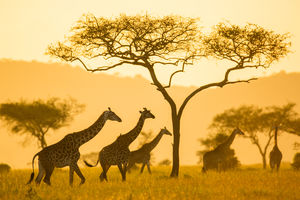 Serengeti Pioneer Camp - giraffen - Tanzania - foto: Serengeti Pioneer Camp