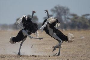 Struisvogels - Kwando - Nxai Pan Camp - Botswana - foto: Nxai Pan Camp