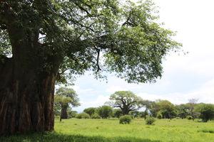 Tarangire -green season - baobabs - Tanzania - foto: Martijn Visscher