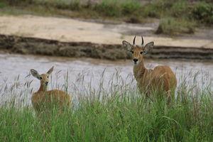 Tarangire - safari - reedbuck - Tanzania - foto: Martijn Visscher