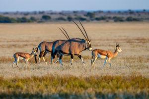 Tau Pan Camp - Oryx - Central Kalahari - Botswana - foto: Tau Pan Camp