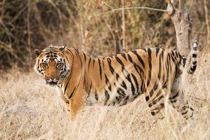 Tijger - Kanha Kisli Nationaal Park - India - foto: unsplash