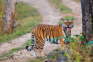 Tijger - Pench Nationaal Park - India - foto: flickr