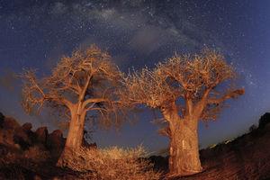 Tuli Game Reserve - baobabs - Botswana - foto: Tuli Safari Lodge