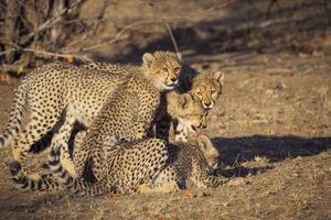 Tuli Game Reserve - cheetahs - Botswana - foto: Tuli Safari Lodge
