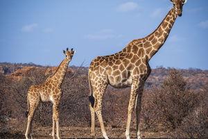 Tuli Game Reserve - giraffen - Botswana - foto: Tuli Safari Lodge
