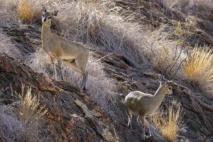 Tuli Game Reserve - klipspringer - Botswana - foto: Tuli Safari Lodge
