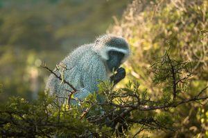 Vervet Monkey - Drakensbergen - Zuid-Afrika