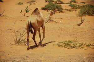 Woestijnsafari - kameel - Dubai - foto: pixabay