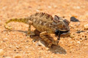 zandhagedis - Namibië - foto: pixabay