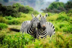 Zebra - Kenia