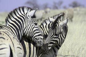 zebras - Etosha - Namibie - foto: pixabay