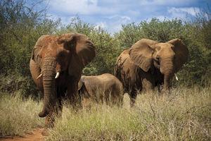 Olifant - Madikwe - Madikwe Safari Lodge - Zuid-Afrika