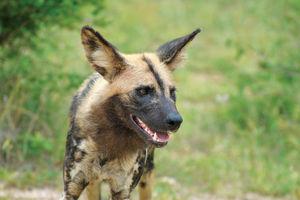 Wilde hond - Madikwe - Madikwe Safari Lodge - Zuid-Afrika