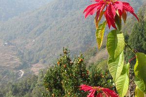 Poinsettia bloem - Bhutan