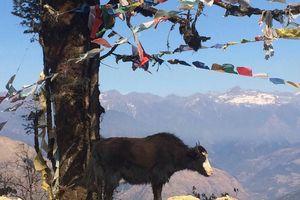 yak in Bhutan - Bhutan - foto: Mieke Arendsen