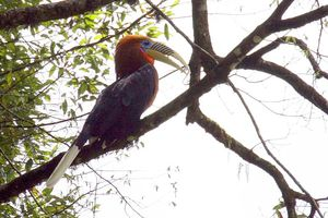Himalaya-jaarvogel in Bhutan - Bhutan