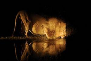 leeuw drinkend 's nachts - Botswana