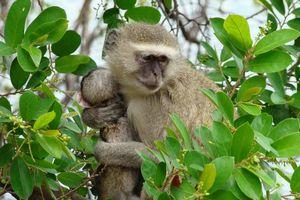 aap met kleine in boom - Botswana
