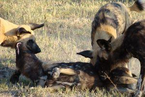 wilde honden in moremi - moremi - Botswana