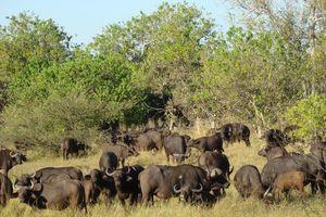 buffels - moremi - Botswana