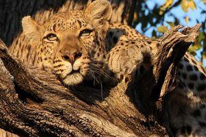 cheetah in boom - botswana