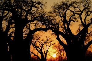 Baines Baobabs - Nxai Pan National Park - Botswana