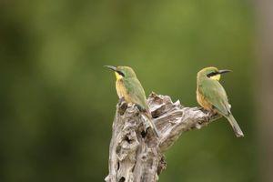 Beijeneters in Moremi - Moremi GR - Botswana