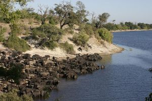 Kudde buffels bij Chobe rivier - Chobe - Botswana