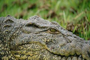 Krokodil rivier Chobe - Chobe - Botswana